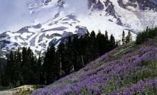 雷尼尔山 Mt. Rainier