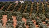 西班牙橄欖園