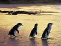 企鹅岛(菲力浦岛)